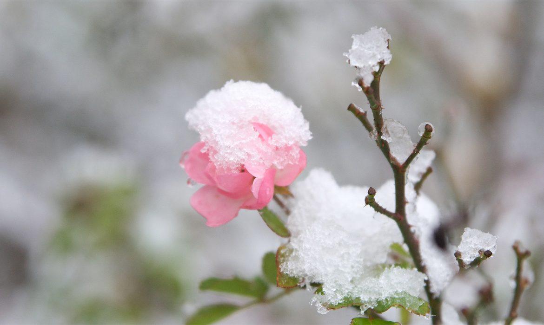 роза, зима