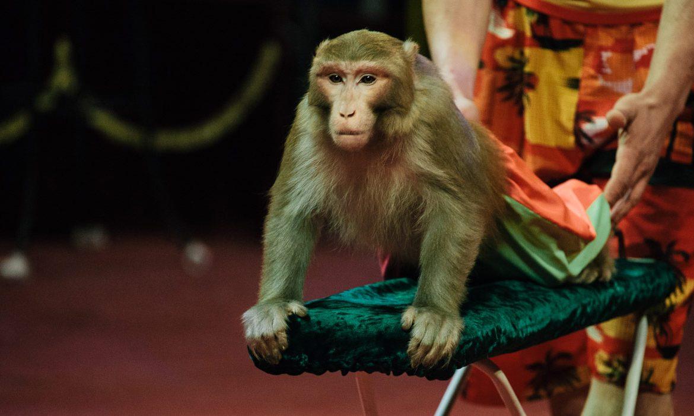 цирк, обезьяна